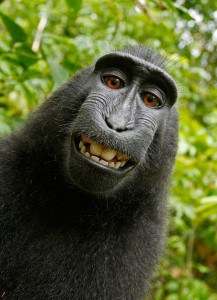 "The ""monkey selfie"" image (Copyright -  Wildlife Personalities Ltd)"